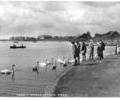 Lake and Swans, Poole Park.